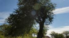 V korunách stromov: Bošácka jabloň