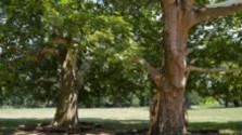 V korunách stromov: Platany v Seredi
