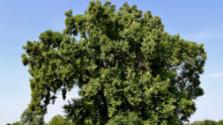 V korunách stromov: Platan z Jelky