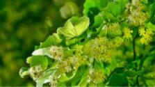 V korunách stromov: Piešťanské lipy v ohrození
