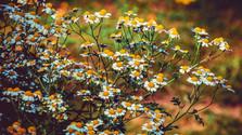 Sezóna liečivých rastlín