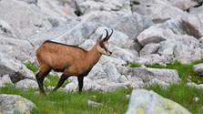 Résultats surprenants du recensement des chamois dans les Tatras