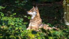 O vlkoch