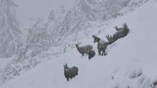 Kamzíky v zime
