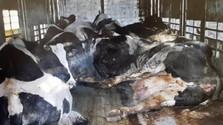 Seguimos el escándalo de la carne de vaca importada desde Polonia