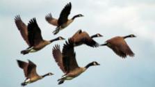 Vtáky sú práve na svojej nebezpečnej ceste