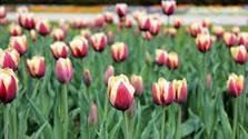 Florecen tulipanes de una variedad especial, vinculada con nuestra tierra