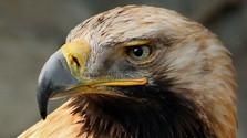 Ochranári krúžkovali orly kráľovské