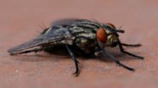 Glosa: Ako muchy na lep
