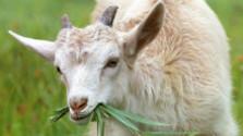 Kozie a materské mlieko