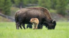 Yellowstone – divočina plná medveďov a gejzírov
