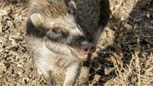 Erster Fall der Afrikanischen Schweinepest