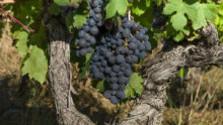 V račianskom štekovom vinohrade