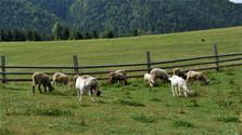 Celebrado el campeonato de esquilar ovejas en Liptovská Lúžna
