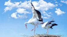Migráciu bocianov bielych sťažuje aj počasie