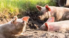 Prevencia afrického moru ošípaných