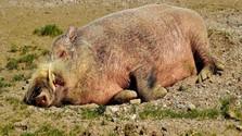 Hasznos tanácsok a sertéspestis megelőzésére