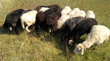 Schafe als grenzüberschreitende Landschaftspfleger