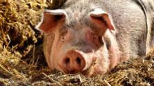 Chov zvierat a antibiotiká 2
