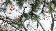 Cesta za vianočným stromčekom