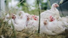 Vtáčia chrípka na Slovensku