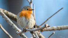 Zimovanie vtákov