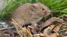 Los roedores se comieron casi la mitad de la producción agraria