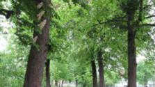 Stromová alej v intraviláne mesta Stupava