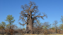 Botswana – baobaby, soľné pláne astanovanie v divočine