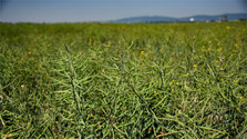 La Slovaquie a besoin du colza ainsi que des légumes