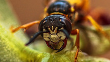 Nebezpečenstvo sršňov pre včely aj pre človeka