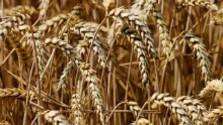 Citlivosť na pšeničnú bielkovinu 2