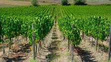 Ako sa starať o vinič