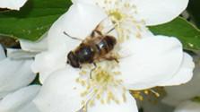 Včela medonosná má byť chránená