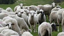 ovce, ovca, stádo