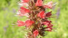 Atlas zelenej krásy - hadinec červený
