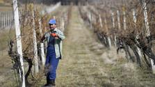 La pandemia del coronavirus y la viticultura