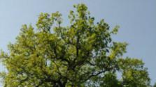 Poškodený dub letný na rozhraní katastrov potrebuje ošetrenie