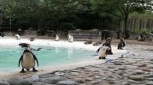 В Кошице вылупились птенцы перуанского пингвина