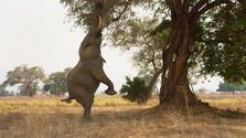 slon žerie lístie zo stromu