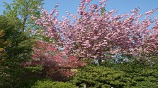 Zo zeme (s Barbarou) / Sakury v záhrade