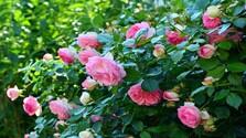 Zo zeme (s Barbarou) / Pripravujeme ruže na zimu a striháme