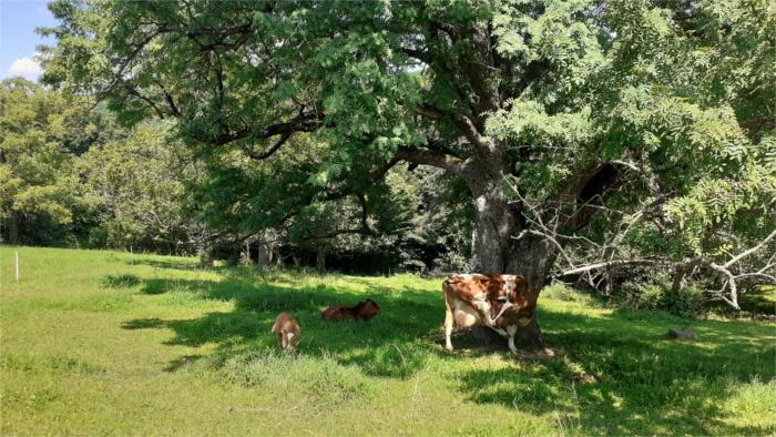 Kravy pod stromom.jpg