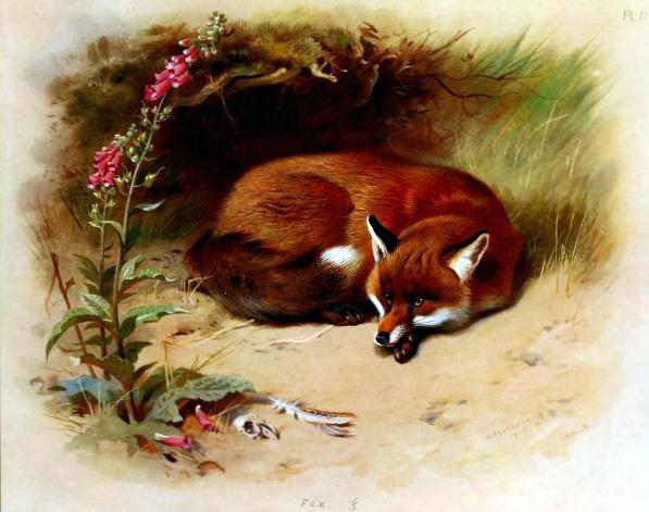Archibald Thorburn antique-illustration-of-british-fox.jpg
