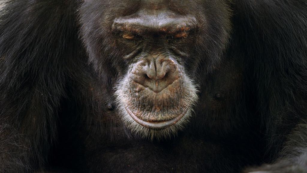 Dynastie šimpanz