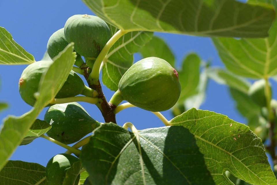 fig-tree-1658686_960_720.jpg