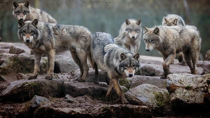Vlk 3.jpg